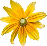 Fotos Flores Amarillas Sin Fondo Renders Png Imagenes